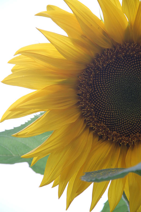 Sunflower Photograph - Sunflower by Rebecca Powers