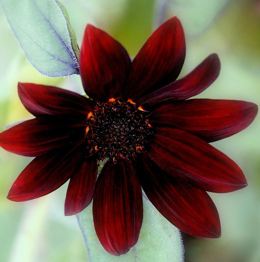 Sunflower Photograph - Sunflower Red by Rosanne Jordan