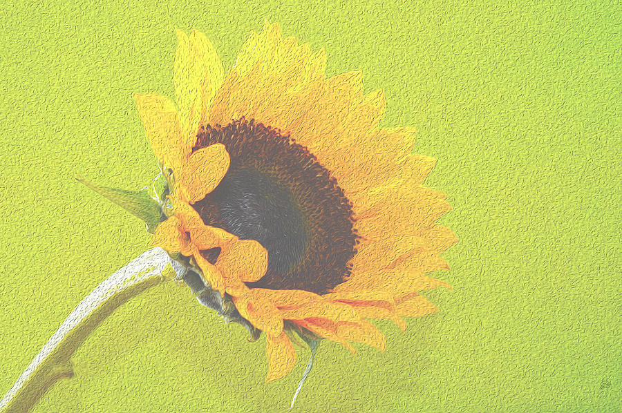 Still Photograph - Sunflower by Sherry Allen