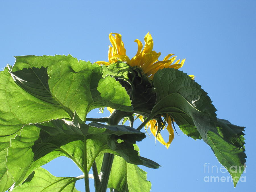 Sunflower Photograph - Sunflower Sky by Elizabeth Stedman