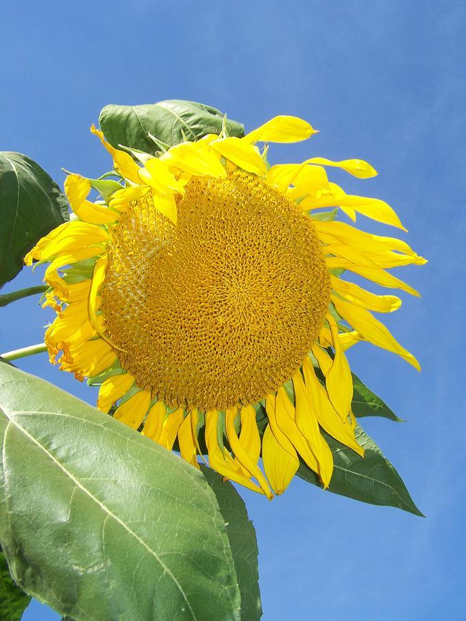 Sunflower Photograph - Sunflower Sky by Noreen HaCohen