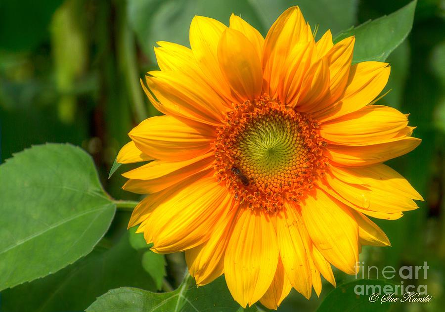 Foliage Photograph - Sunflower Smile by Sue Karski