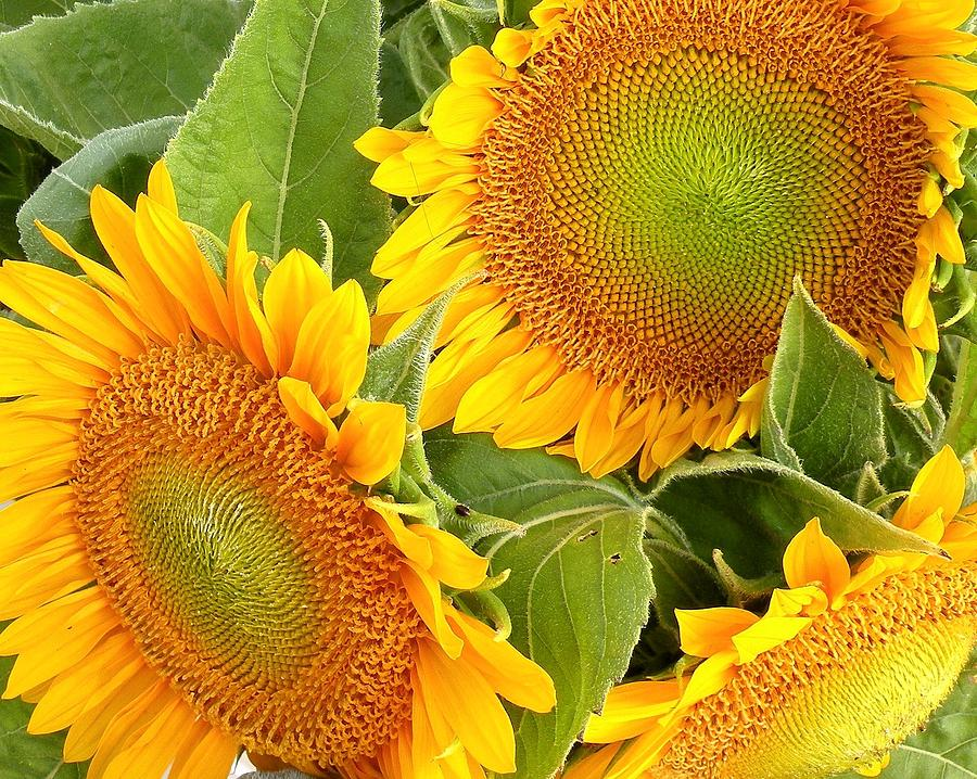 Sunflower Photograph - Sunflower Smiles by Kim Bemis