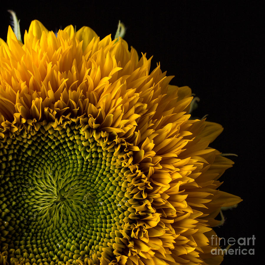 Flower Photograph - Sunflower Square by Edward Fielding