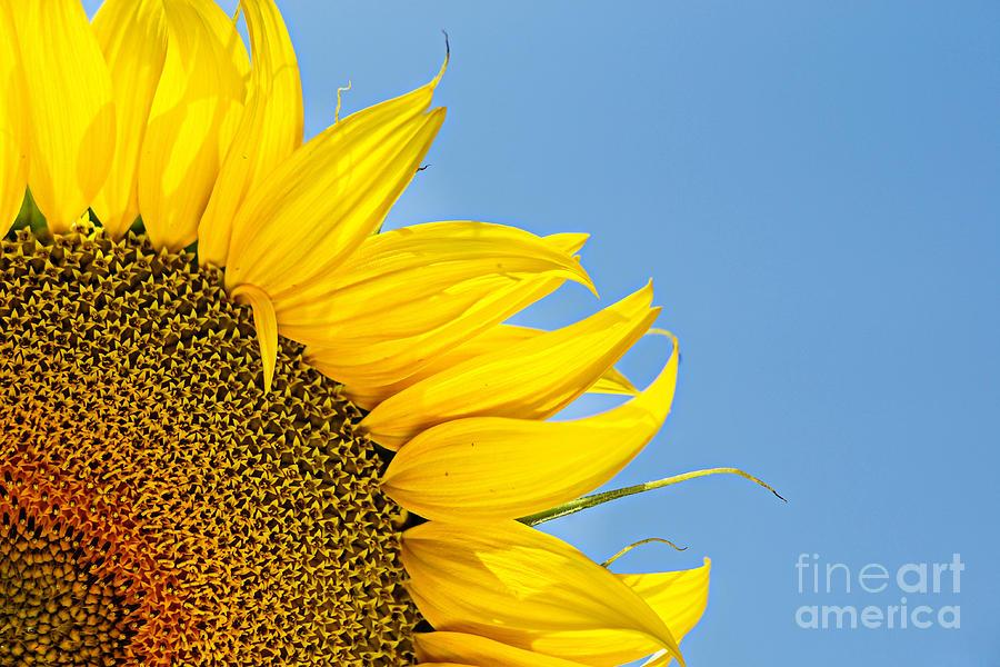 Sun Photograph - Sunflower by Stela Taneva