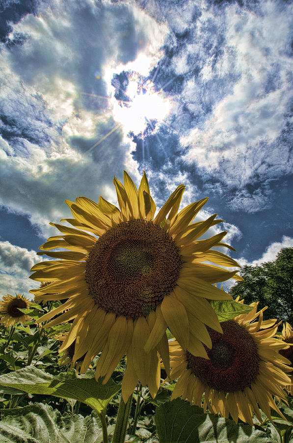 Flowers Photograph - Sunflower Study 1 by Mitchell Brown
