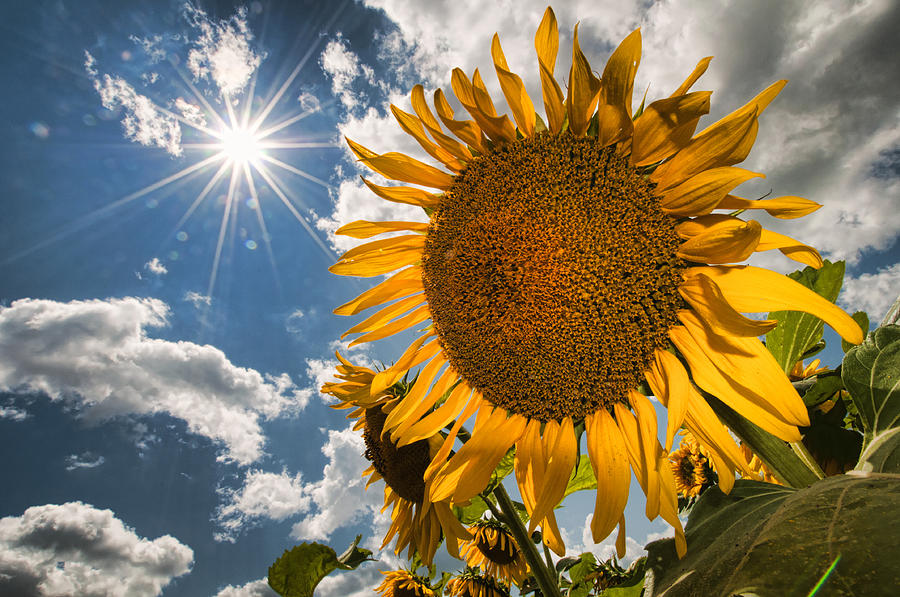 Flowers Photograph - Sunflower Study 2 by Mitchell Brown
