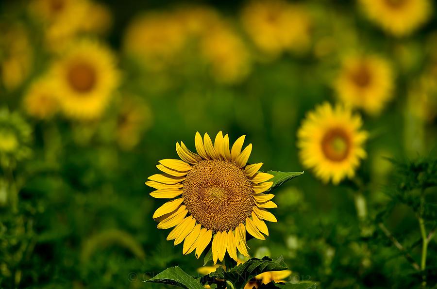 Sunflower Photograph - Sunflower Summer by Christopher L Nelson