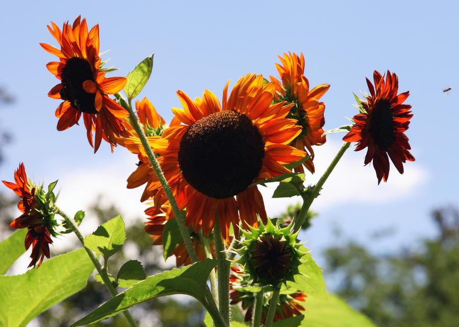 Sunflowers Photograph - Sunflower Symphony by Karen Wiles