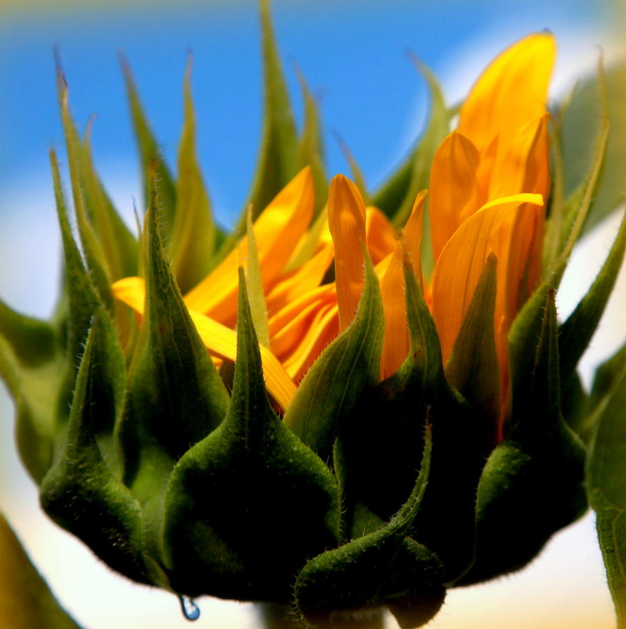 Yellow And Green Photograph - Sunflower Teardrop by Karen Wiles