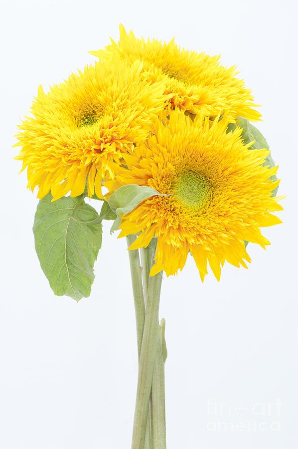 Sunflower Photograph - Sunflower Trio by Anne Gilbert