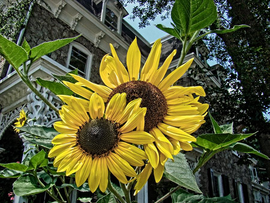 Sunflower Photograph - Sunflower Under The Gables by Alice Gipson
