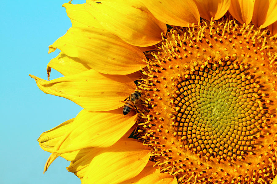 Sunflower With Bee - Photo by Susan Schroeder