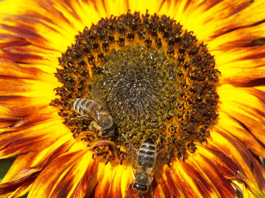 Sunflower Photograph - Sunflower with bees by Matthias Hauser