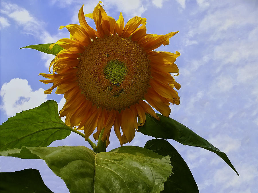 Sunflower Digital Art - Sunflower With Busy Bees by Chris Flees