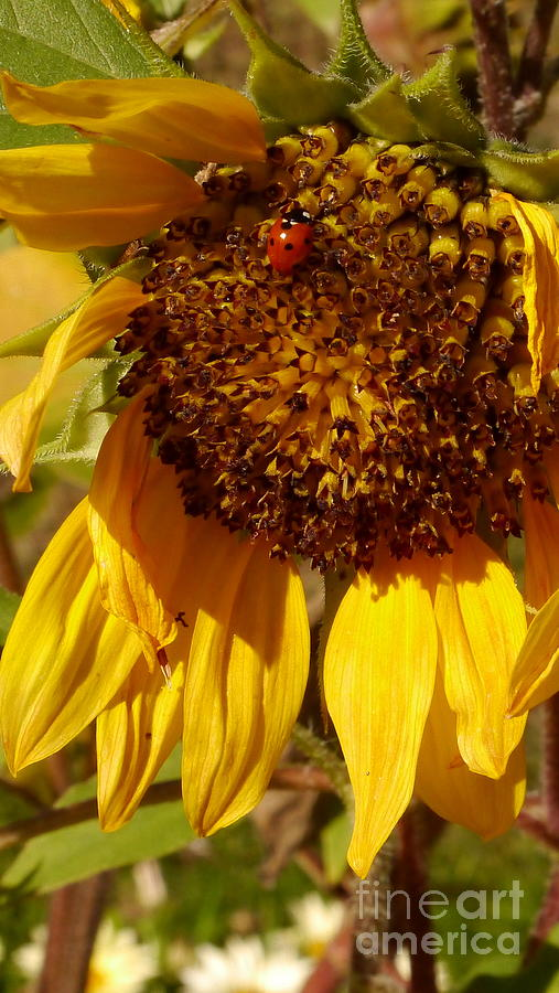 Sunflower Photograph - Sunflower With Ladybug by Christiane Schulze Art And Photography