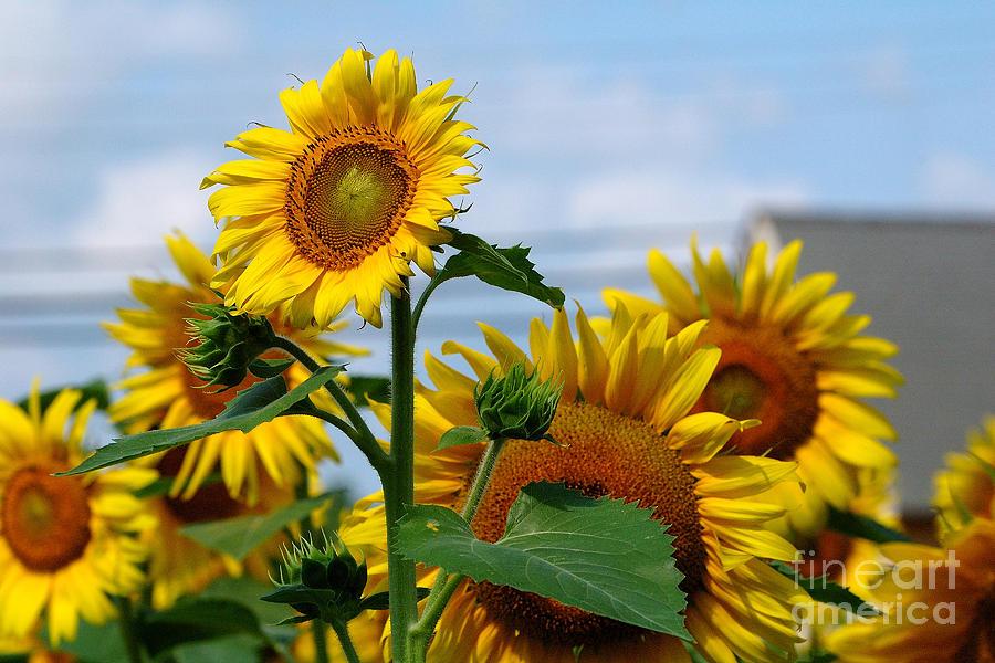 Sunflowers Photograph - Sunflowers 1 2013 by Edward Sobuta