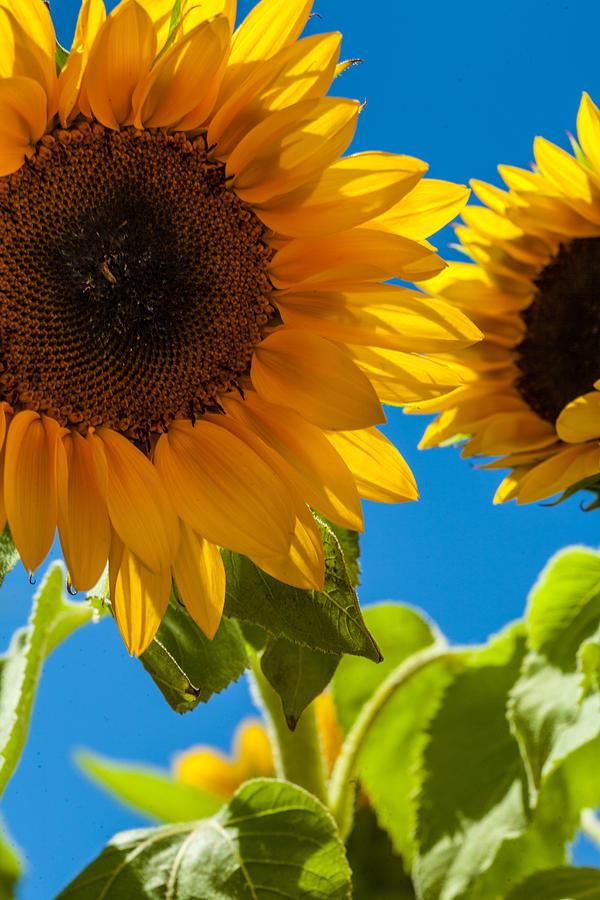 Sunflowers Photograph - Sunflowers 2 by Dasmin Niriella