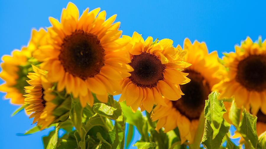 Sunflowers Photograph - Sunflowers 3 by Dasmin Niriella