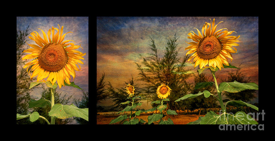 Sunflower Photograph - Sunflowers by Adrian Evans