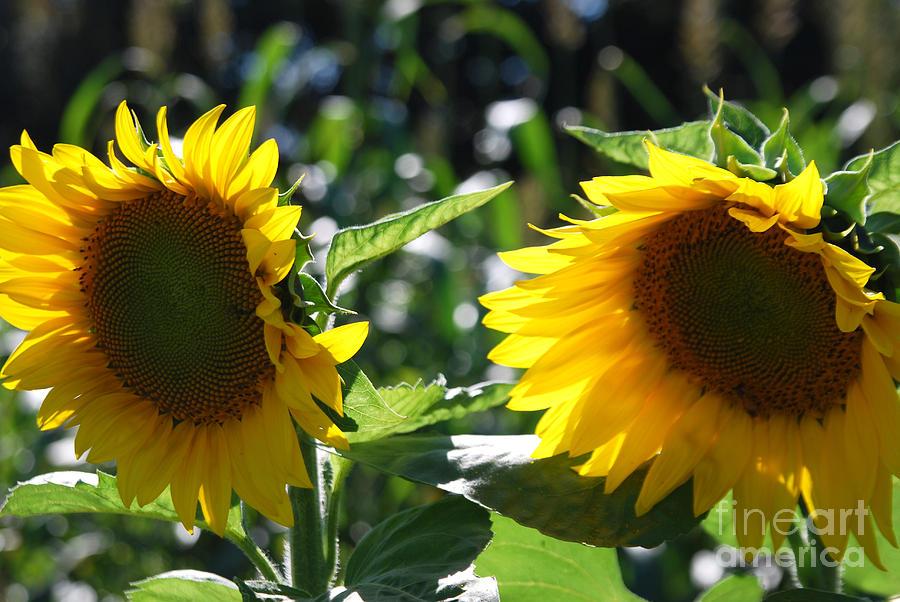 Harvest Photograph - Sunflowers by Manda Renee