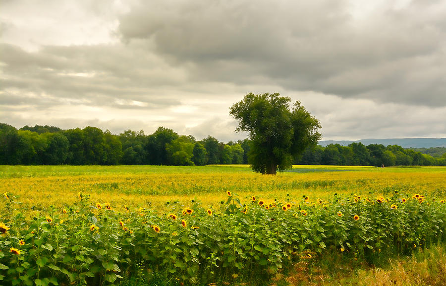 Flowers Photograph - Sunflowers And The Tree by Nancy De Flon