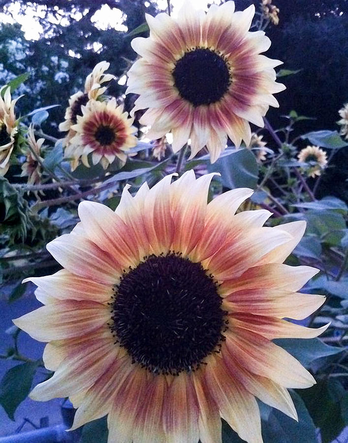 Sunflowers Photograph - Sunflowers At Dusk by Rick Starbuck