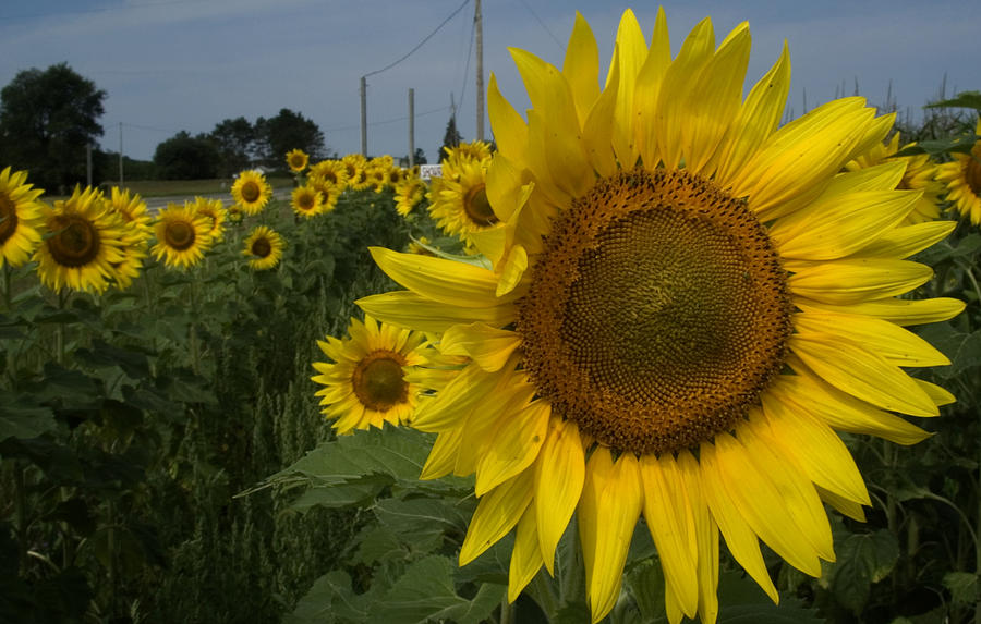 Sunflowers Photograph - Sunflowers by Diane Lent
