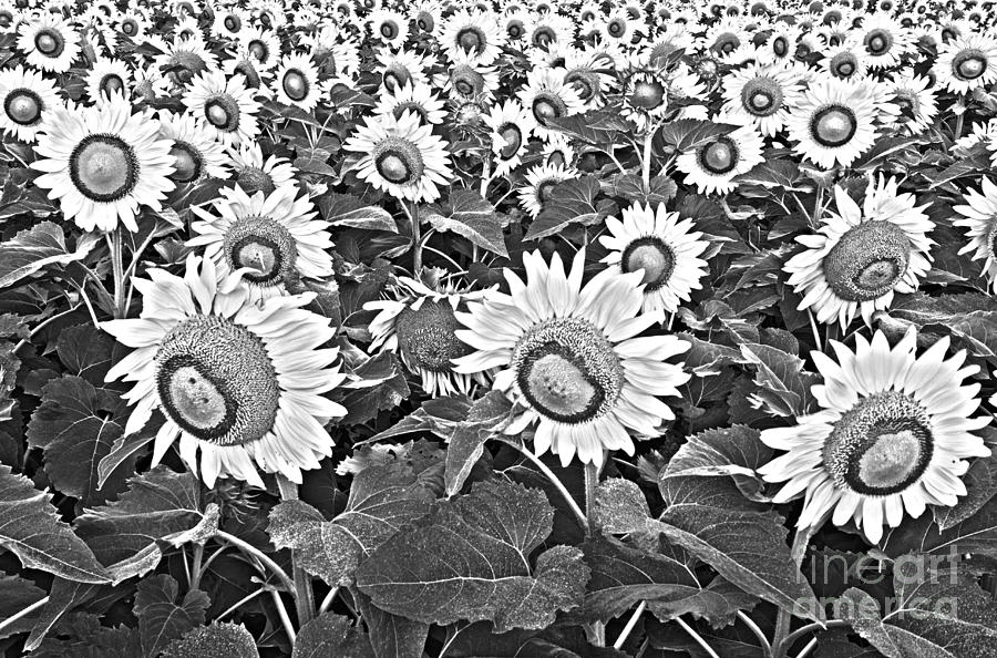 Sunflower Photograph - Sunflowers by Elena Nosyreva