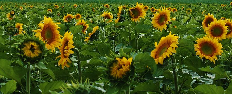 Flora Photograph - Sunflowers Galore by Bruce Bley