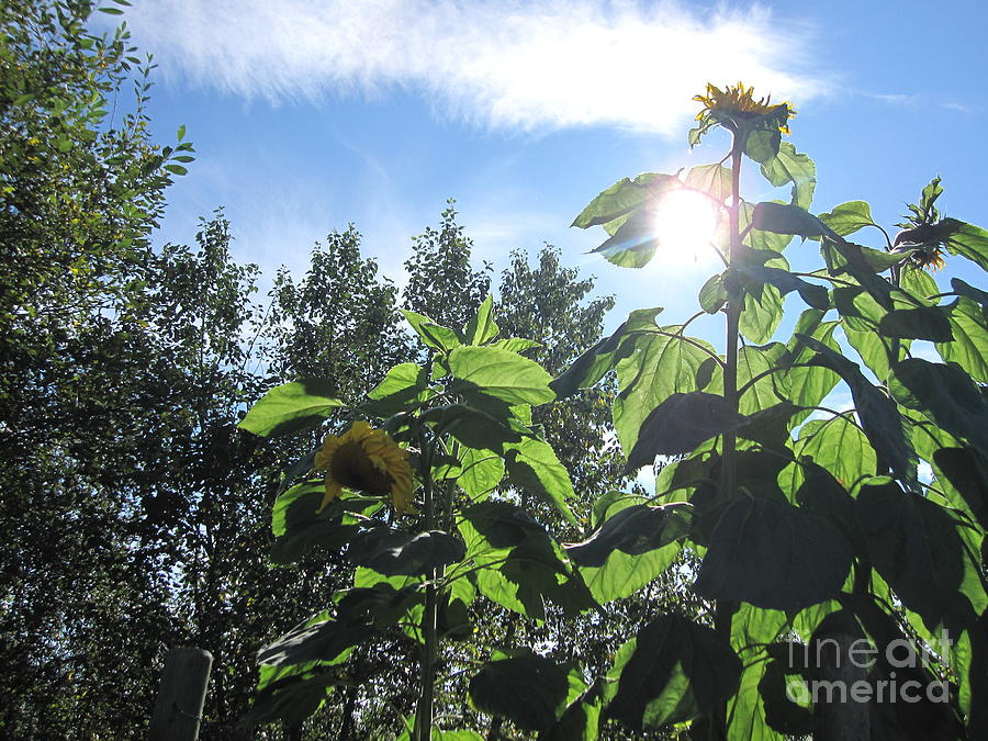 Sunflowers Photograph - Sunflowers In Sunshine by Elizabeth Stedman
