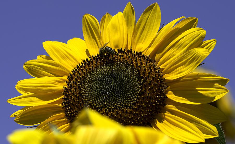 Sunflower Photograph - Sunflowers by John Holloway