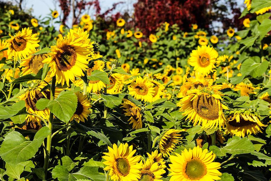 Sunflower Photograph - Sunflowers by Julien Boutin