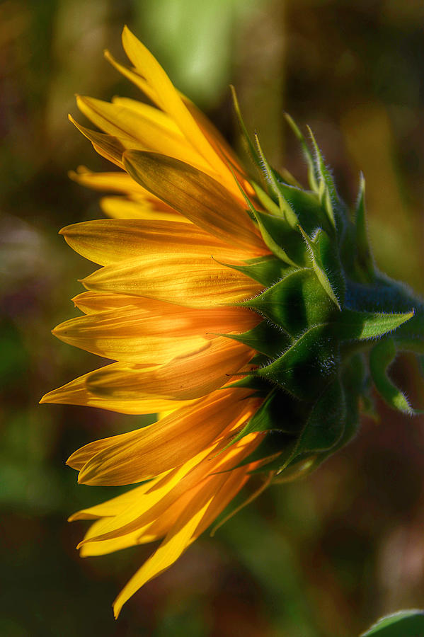 Bees Photograph - Sunflowers by Kathi Isserman