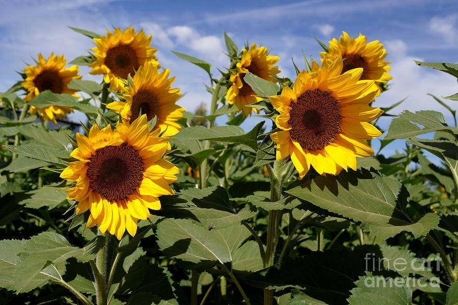 Agriculture Photograph - Sunflowers by Kerri Mortenson