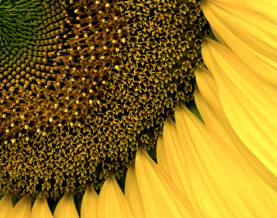 Agriculture Photograph - Sunflowers Of Summer by Sharon Meyer