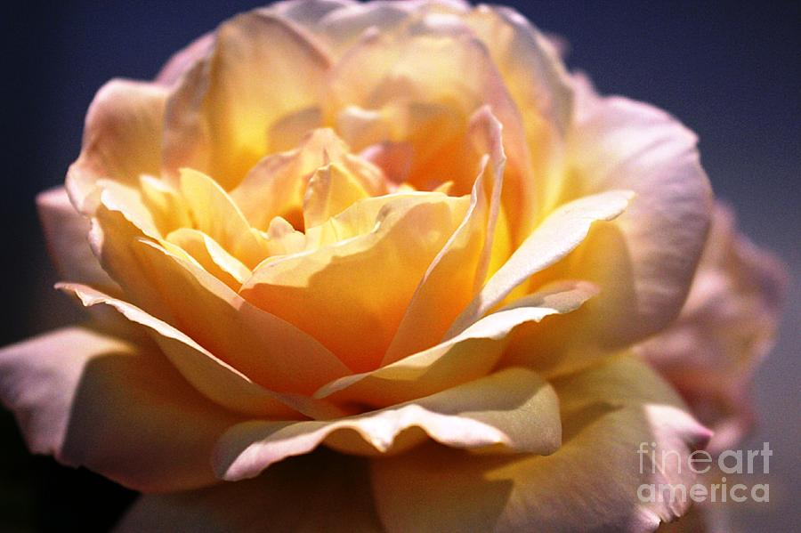 Rose Photograph - Sunkissed Rose by Judy Palkimas