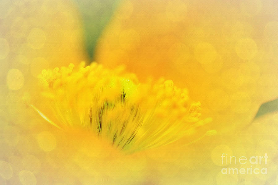 Yellow Poppy Photograph - Sunlight On Poppy Abstract by Kaye Menner