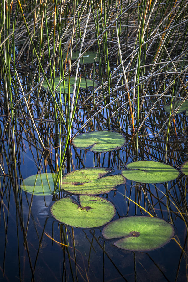 Clouds Photograph - Sunlight On The Lilypads by Debra and Dave Vanderlaan