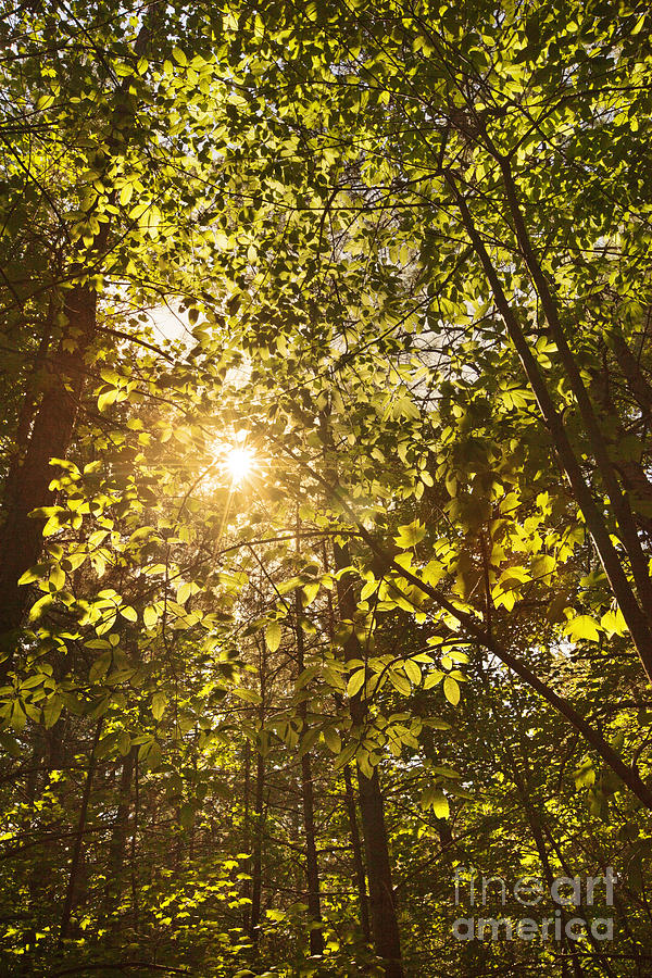 Canopy Photograph - Sunlight Shining Through A Forest Canopy by Jonathan Welch