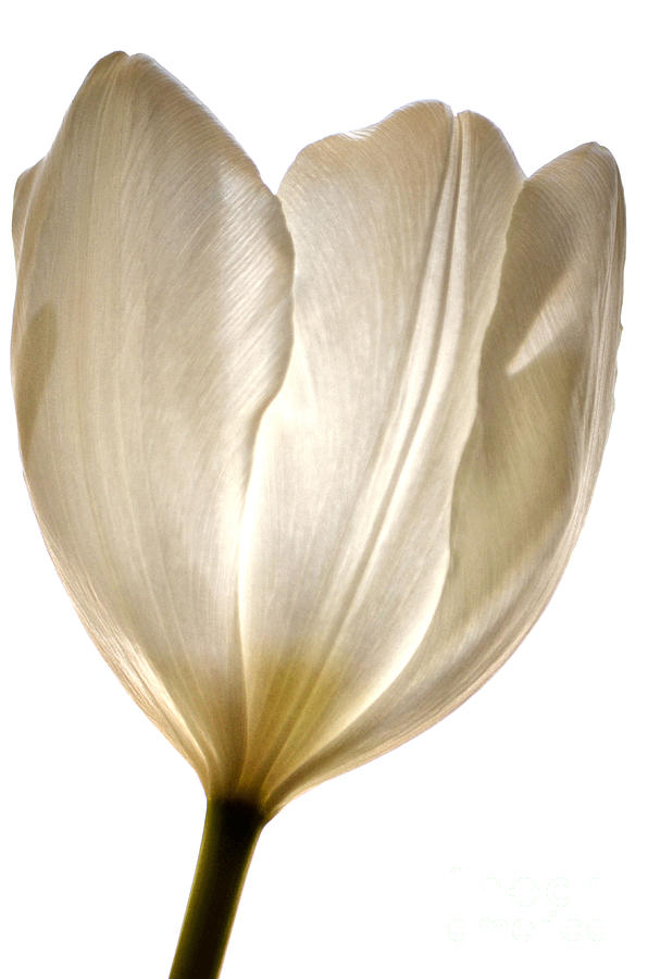 White Tulip Photograph - Sunlight White by Deb Halloran