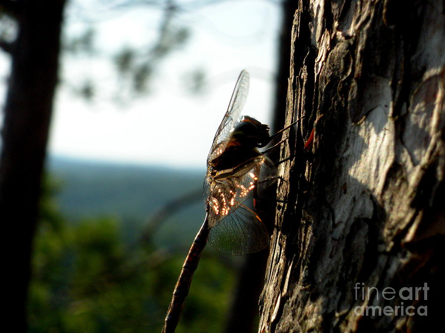 Dragonfly Photograph - Sunlit Dragonfly  by Sophia Elisseeva