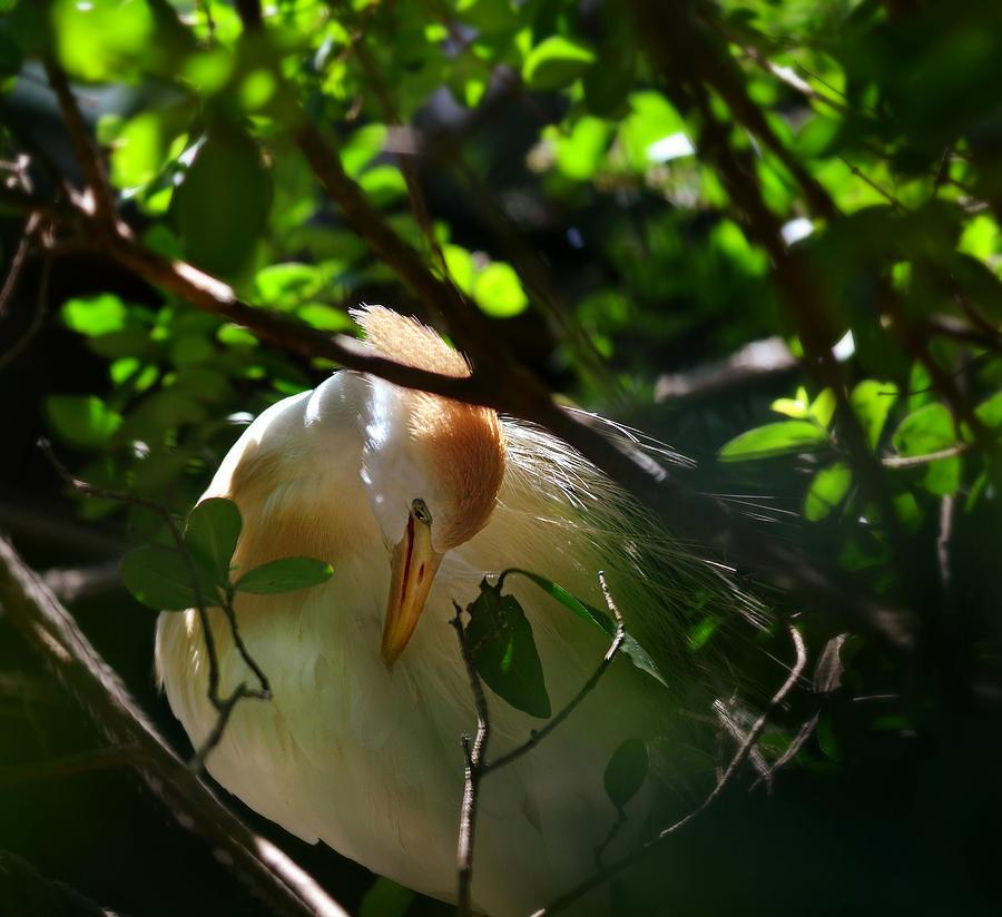 Egret Photograph - Sunlit Egret by Laura Fasulo