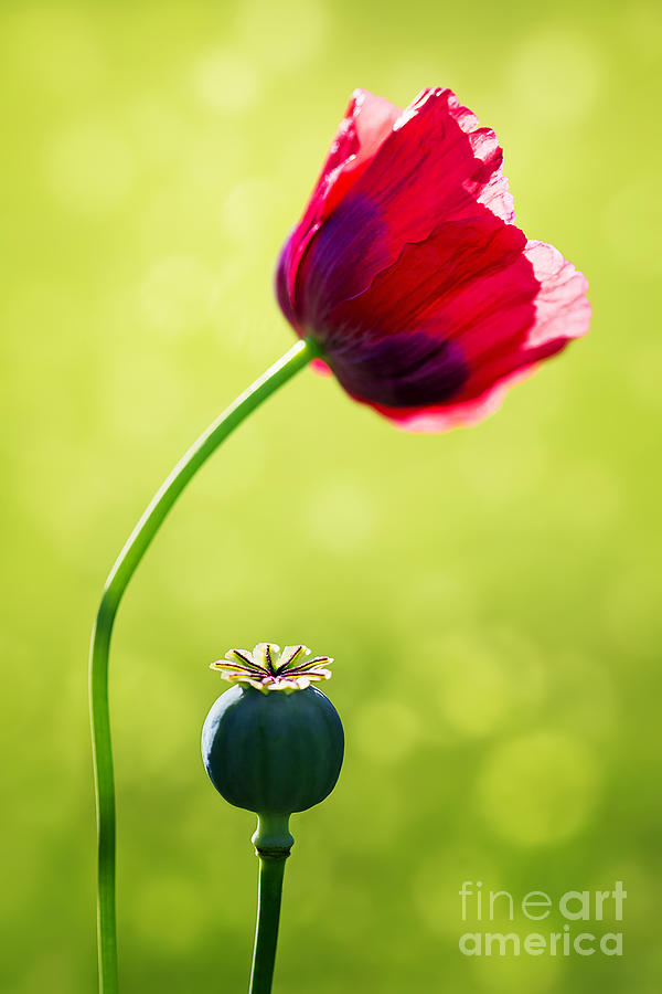 Poppy Photograph - Sunlit Poppy by Natalie Kinnear