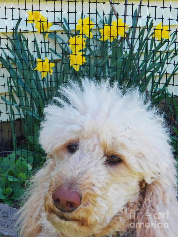 Poodle Painting - Sunny And The Daffodils by Judy Via-Wolff