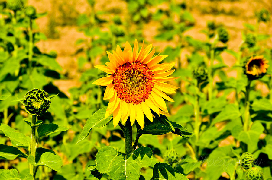 Sunflowers Photograph - Sunny by BandC  Photography