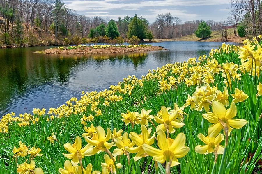Daffodil Photograph - Sunny Daffodil by Bill Wakeley