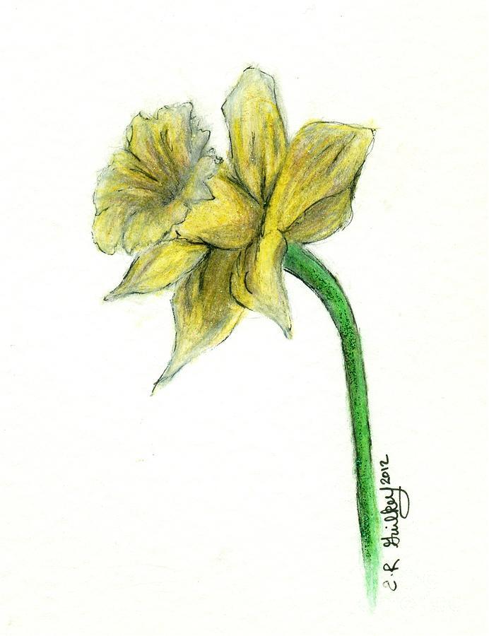 Sunny Daffodil Drawing by Elizabeth Guilkey