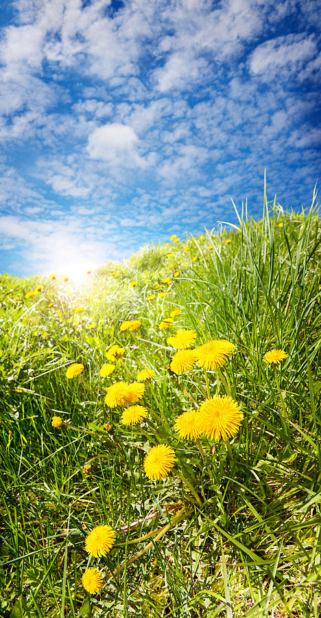 Field Photograph - Sunny Dandelions by Jo Ann Snover