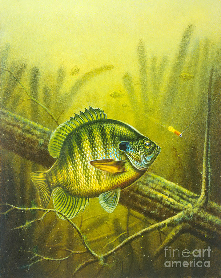 Jon Q Wright Painting - Sunny Day Panfish by Jon Q Wright